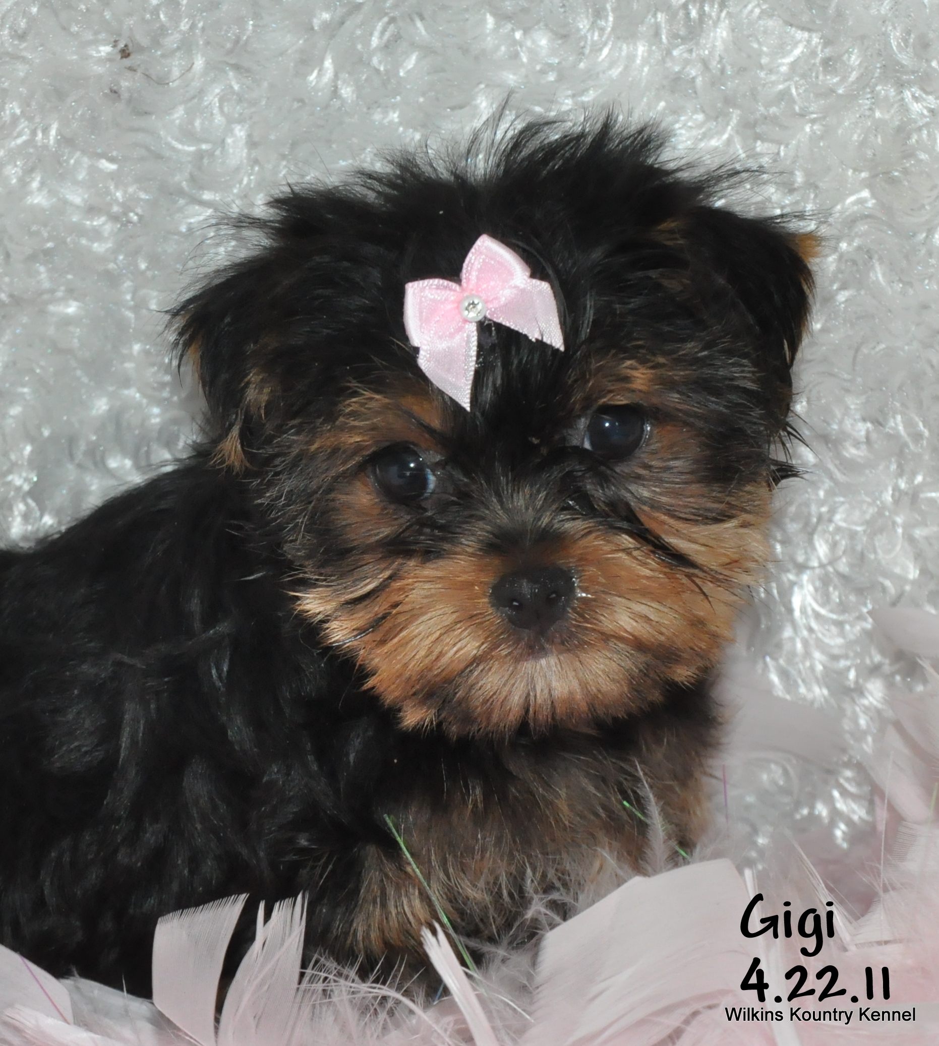 mo yorkshire terrier puppy for sale york shire puppies. Black Bedroom Furniture Sets. Home Design Ideas